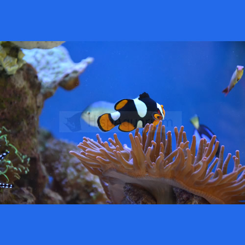 Amphiprion Percula W