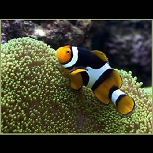 Amphiprion Ocellaris Caramelo